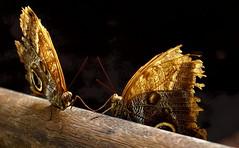 DSC03826 (Argstatter) Tags: bananenfalter schmetterling butterfly falter makro insekt nachtfalter tier natur bokeh