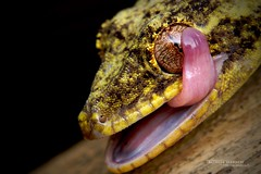 Thecadactylus solimoensis (Matthieu Berroneau) Tags: reptile reptilian reptilia macro nature herpéto herpeto trip 2019 equateur ecuador herp herping wildlife animal animaux sony alpha a7iii ff 24x36 full frame sonya7iii sonyalphaa7iii sonya7mk3 sonyalpha7mark3 sonyalpha7ii 7iii 7mk3 sonyilce7m3 90 28 fe f28 g oss fe90f28macrogoss sonyfesonyfe2890macrogoss objectifsony90mmf28macrofe sel90m28g lizard lézard thecadactylus solimoensis thecadactylussolimoensis southern turniptail southernturniptail turniptailed gecko southernturniptailedgecko bigalriverbiologicalreserve bigal river biological reserve réservebiologiquedebigal réserve biologique de reserva biologica reservabiologicadebigal
