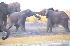Battling Behemoths (peterkelly) Tags: digital canon 6d africa intrepidtravel capetowntovicfalls botswana chobenationalpark choberiver savannaelephant trunk fighting fight elephant savannahelephant