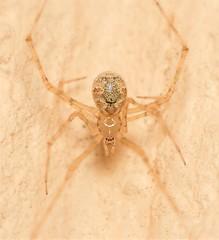 [Explored] My little porch spider (WinRuWorld) Tags: whiteporchspider porchspider spidersofaustralia spider arachnid invertebrate arthropod araneae theridiidae cryptachaeagigantipes fauna macrophotography soft delicate dof depthoffield naturephotography dorsal