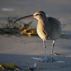 Whimbrel (EXPLORE) (avilacats) Tags: kelp sand surf sunrise pismobeach whimbrel