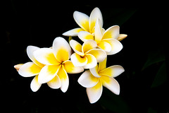 Frangipanis are a Tight Bunch (armct) Tags: frangipani plumeria exotic traditional aroma scent perfume garden yellow white shrub tree bloom flower bunch tight