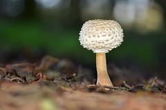 Shaggy Parasol ... Chlorophyllum rhacodes (AndyorDij) Tags: mycology fungi andrewdejardin shaggyparasol chlorophyllumrhacodes wing england rutland uk unitedkingdom