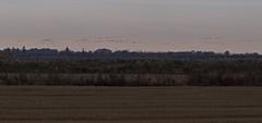 Grue cendrée - BFIM9559 (6franc6) Tags: occitanie languedoc gard 30 petitecamargue novembre 2019 6franc6 vélo kalkoff vae