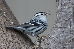 Black-and-white Warbler (X9B_5090-1) (Eric SF) Tags: blackandwhitewarbler blackandwhite warbler