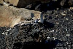 Lizard (PLawston) Tags: la palma spain canary islands fuencaliente volcanoes lizard