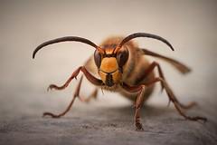 European hornet (Janette Paltian) Tags: janettepaltian sony 7m3 7miii 90mm makro macro hornet vespacrabro hornisse insect insekt nature natur closeup nahaufnahme