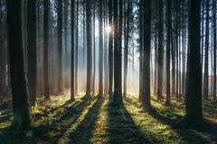 Rare moments (der_peste (on/off)) Tags: forest woods woodland raysoflight sunrays morning atmosphere mood sunstar soil duff moss fog mist