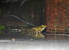 this way ? ... don´t kiss the wrong prince, he´s a frog  2019 (matthias416) Tags: frog frosch rain regen tier animal macro reflections reflektionen nikon