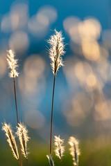 Nature Luxuous Bokeh (NathalieSt) Tags: coucherdesoleil europe france hérault lagrandemotte languedocroussillon occitanie nature nikon nikond750 nikonpassion nikonphotography sunset