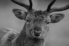 Buck on a Rainy Day mono (andy_AHG) Tags: wildlife autumn stag fallowdeerbuck antlers animals nikond300s yorkshire