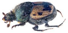 Kurtops signatus (Fahraeus, 1857)  Male (urjsa) Tags: coleoptera käfer beetle insect scarabaeidae kurtops signatus kurtopssignatus kenia kenya taxonomy:binomial=kurtopssignatus taxonomy:family=scarabaeidae taxonomy:genus=kurtops taxonomy:species=signatus geo:country=kenya taxonomy:order=coleoptera coleopteraus kaefer insekt