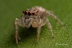 Jumping spider (Opisthoncus sp) (F.Hendre) Tags: spider jumpingspider opisthoncus arachnid australianspiders macro insect closeup