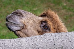 Peek-A-Boo (Wes Iversen) Tags: camelusbactrianusbactrianus detroitzoo fencefriday hff michigan nikkor18300mm royaloak animal animalportraits bactriancamels camel concrete fence grass mammal zoos