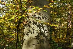 Licht und Schatten (KaAuenwasser) Tags: buche baum pflanze natur licht schatten blatt blätter laub lichter sonnenstrahlen stamm holz herbst wald