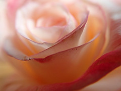 Meditations on a Rose (Grazerin/Dorli Burge) Tags: rose floral flower petals macro closeup selectivefocus blur bokeh pastel edges
