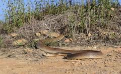 Coastal Taipan (Oxyuranus scutellatus) (shaneblackfnq) Tags: coastal taipan oxyuranus scutellatus shaneblack snake reptile elapid venomous dangerous julatten fnq far north queensland australia tropics tropical