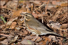 Redwing (image 1 of 2) (Full Moon Images) Tags: rspb sandy wildlife nature reserve bedfordshire bird redwing
