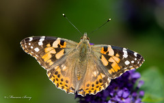 Painted Lady Butterfly  05-Sept-19 M_001 (gomo.images) Tags: 2019 aberdeenshire butterflies country flowers insects nature outdoors paintedladybutterfly scotland stonehaven years