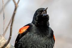 2018 Red-winged Blackbird 14 (DrLensCap) Tags: montrose point bird sanctuary chicago illinois il robert kramer