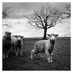 Sheep and Shadow (ASTPic) Tags: sheep shadow blackandwhite bw noiretblanc astpic