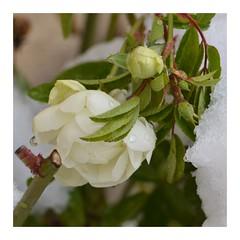 Impertinence (RarOiseau) Tags: hiver hautesalpes neige jardin décembre blanc carré macro