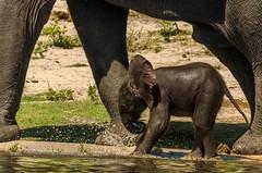 Beating the heat.... (lyn.f) Tags: elephant baby loxodontaafricana water waterislife mammalswild choberiver botswana botswanamagic africa safari pangolinphotosafaris