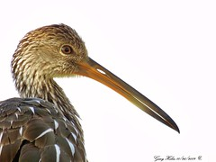 Aramus Guarauna   Limpkin (Gary Helm) Tags: limpkin bird birds nature wildlife animal outside outdoor water applesnails image photograph lakekissimmee wadingbird waterbird downcurvedbill rivers streams lakes usa florida osceolacounty joeoverstreetlanding peavineroad ghelm4747 garyhelm portrait closeup