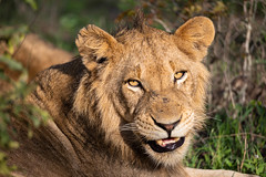 Fierce boy (Mark Nicholas Heah) Tags: cat lion fierce lone big wild wildlife animal mammal natgeo natgeowild nationalgeographic nationalpark kruger africa southafrica
