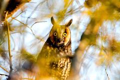 2018 Long-eared Owl 21 (DrLensCap) Tags: longeared owl montrose point bird sanctuary chicago illinois il robert kramer