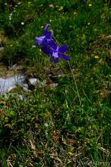 Aquilegia alpina (Nelleke C) Tags: 2019 grindelwald kleinescheidegg swiss switzerland zwitserland alpen alpenakelei alpenweide alpin alpinemeadow alps aquilegiaalpina bergen flora holiday mountains ranunculaceae subalpin vakantie