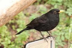 Blackbird (phileveratt) Tags: fencefriday fencedfriday happyfencefriday hff blackbird