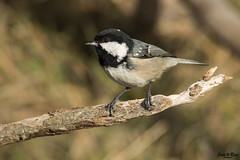Periparus ater (Joan Rigo Arnavat) Tags: birds ocells oiseaux wildlife nature natura tit mallerenga