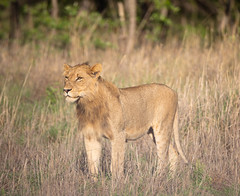 Lone cat (Mark Nicholas Heah) Tags: lion kruger nationalpark nationalgeographic natgeo natgeowild nature animal cat big fierce africa southafrica