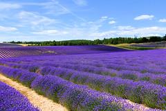 P1140963 (alainazer) Tags: revestdubion provence france fiori fleurs flowers fields champs ciel cielo sky colori colors couleurs lavande lavanda lavender