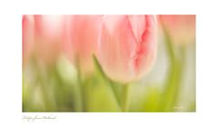 Tulips  Lensbaby Velvet 56 (Janny.K) Tags: lensbabyoncanon lensbabieschallenge lensbabies lensbabyinnederland photofacts canon6dmark11 canonphotography lensbabyvelvet56