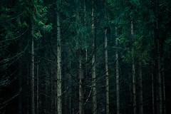 _DSC6878 (Miroslav91) Tags: forest nature pine tree dark gloomy d7500 tamron 150600mm