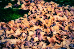 Flow of Leaves (View from the rabbit hutch) Tags: autumn fall leaves autumnleaves winter flow ginkgo