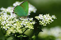 Souvenir du printemps (jpto_55) Tags: papillon vert argusvert proxi bokeh fuji fujifilm kiron105mmf28macro kironlens hautegaronne france