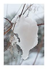 Gourmandise, ou La petite faim de la colombe (RarOiseau) Tags: hiver hautesalpes neige jardin décembre blanc paréidolie arbuste fustet macro