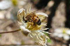 Bee and bokeh (Queen of the Swarm) Tags: insect macro nature bee honeybee invertebrate beeinclematis beeinflower beegatheringpollen beeforaging