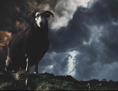 Bodmin moor resident (louise.burton23) Tags: atmospheric dramatic ram moodyphotography moody sheep moorland moor