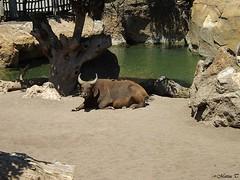 Búfalo rojo (Marisa Tárraga DV) Tags: españa spain valencia bioparc zoo animal bufalorojo ngc fujifilmsl300 naturaleza nature buffalo