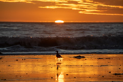 Bird Enjoys the Sunset (beltz6) Tags: bird sunset goleta beach haskellsbeach seesb santabarbara twiilight dusk evening ocean santabarbarachannel reflection reflections sun sky skies cloud clouds