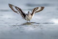 Willet (Frank Schauf Photography) Tags: animal bird florida nordamerika northamerica schlammtreter tier tringasemipalmata usa vogel willet
