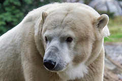 The most beautiful bear (ucumari photography) Tags: ucumariphotography polarbear ursusmaritimus oso bear animal mammal nc north carolina zoo osopolar ourspolaire oursblanc eisbär ísbjörn orsopolare 北極熊 полярныймедведь anana dsc3560 specanimal