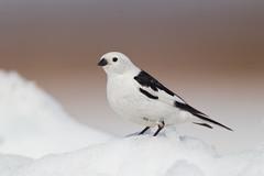 Snow Bunting - Barrow (www.studebakerstudio.com) Tags: snow bunting barrow snowbunting bird passerine