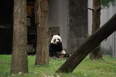 Mei Xiang (美香) 2019-10-06 (kuromimi64) Tags: smithsoniansnationalzoo nationalzoo smithsonian スミソニアン zoo 動物園 washingtondc ワシントンdc usa america アメリカ合衆国 アメリカ bear クマ 熊 giantpanda ジャイアントパンダ panda パンダ 熊猫 大熊猫 meixiang 美香