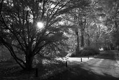 The 'traffic' fence (Elisafox22) Tags: elisafox22 nikon d80 infraredconverted 590nm goldie supergoldie trees hff fencefriday fencedfriday bw monochrome blackandwhite sunshine branches leaves sunflare shadows faux infrared fyviecastle aberdeenshire scotland lochsidewalk outdoors inedita talkingdigitalphotography blog website elisaliddell©2019