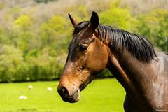 Horses head (technodean2000) Tags: horses head portrait ©technodean2000 lr ps photoshop nik collection nikon technodean2000 flickr photographer d810 wwwflickrcomphotostechnodean2000 www500pxcomtechnodean2000 technodean2000yahoocouk
